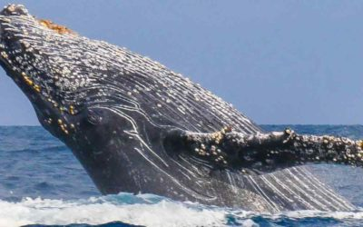 The humpback whales in Madagascar